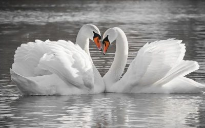 White swans on a lake forming a heart with their heads